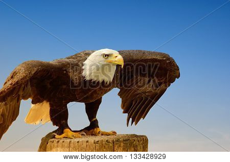 portrait of American sea eagle in the natural park