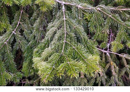 Lots of multilayer spreading furry green conifer branches in summer day.