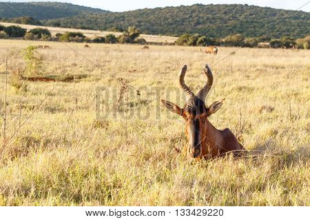 Can u see me - The red hartebeest Alcelaphus buselaphus caama is a species of even-toed ungulate in the family Bovidae found in Southern Africa.