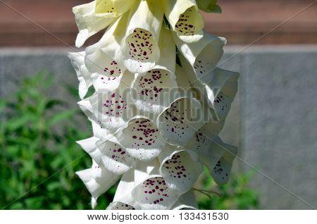Digitalis white flowers macro shot in summer