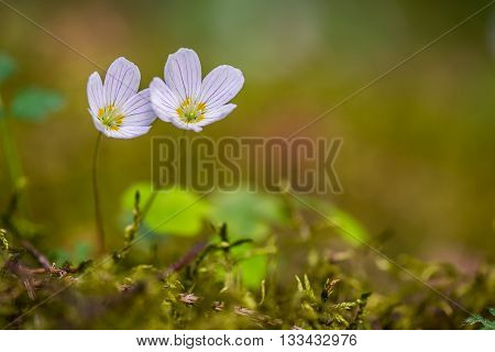 Closeup of wood sorrel flowers in springtime forest