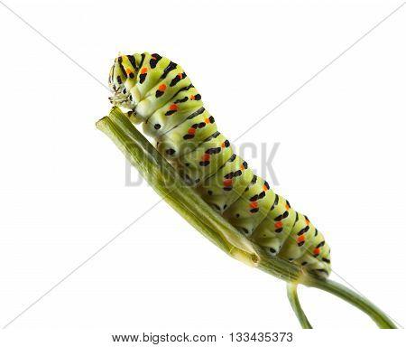 Macro Of Vermin Caterpillar On Green Twig