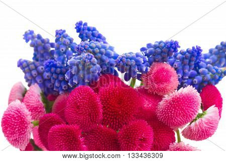 bunch of fresh Muscari and Daisy Flowers border isolated on white background