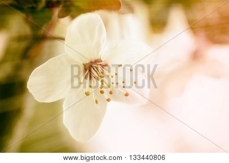 macro pistils of white spring cherry flower