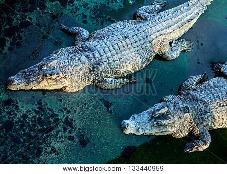 crocodiles, view from above, stylish blue colored background