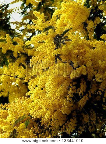 Beauty Yellow Lush Foliage Flowering Mimosa with Leafs closeup Outdoors