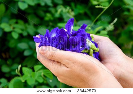 Hand Collecting Butterfly Pea Flower