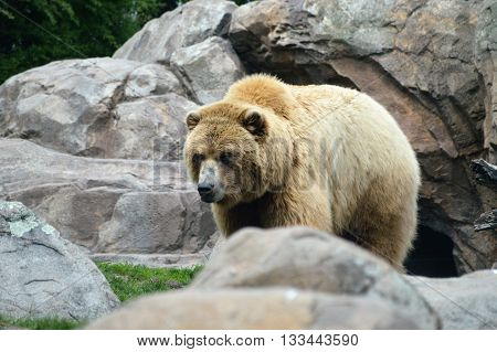 A Russian Grizzly bear in the wilderness