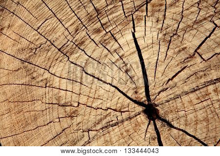 cracks on cut of dry trunk, wood twxture background