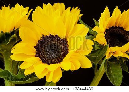 Bouquet of beautiful sunflowers on a black background