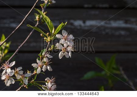 Spring flowering branch on wooden background. cherry blossoms