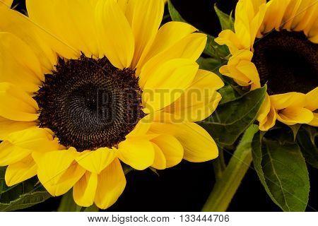 Macro shot of a beautiful sunflower on black background