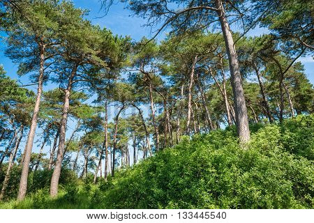 pine trees under a beautiful blue sky