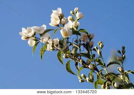 Tree branch with white flowers of jasmine.
