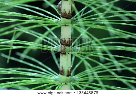 Steam and leaves of a great horsetail (Equisetum telmateia)