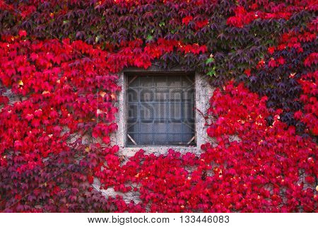 window surrounded by red ivy in spring