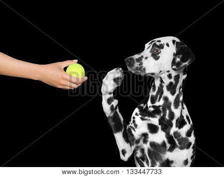 Dog is surprised to see the ball -- isolated on black