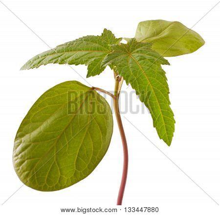 Sapling of castor plant on white background. Ricinus communis.
