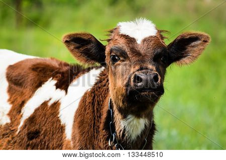 The Little Calf Looks At The Photographer Who Removes Him