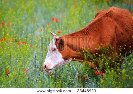 Cow In The Poppy Field
