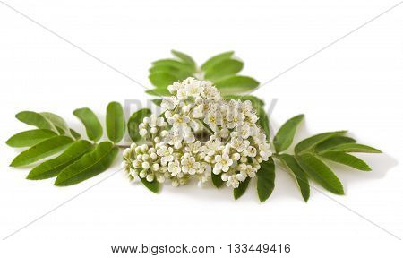 rowan twig with flower on white background