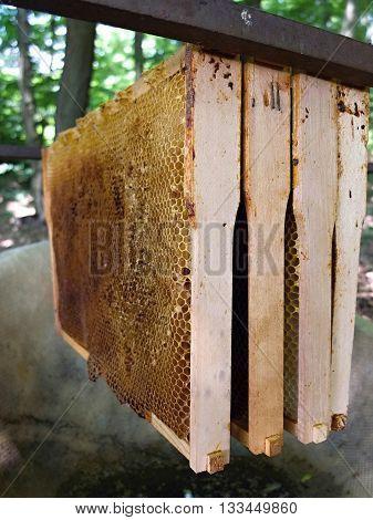 Bee honey comb. Honeycombs in forest.Wild bees