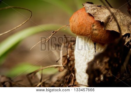 Young cap boletus grown in the forest under an old aspen leaf
