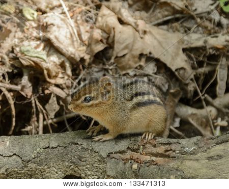 An Eastern Chipmunk,   Tamias striatus, crouching on a branch with dried leaves in the background.