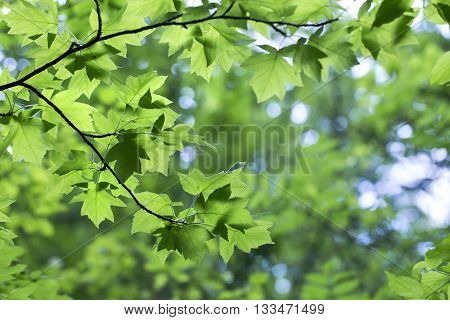 green leaves of Sorbus torminalis Crantz in the forest beautiful spring background