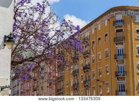 Jacaranda Trees In Blooming