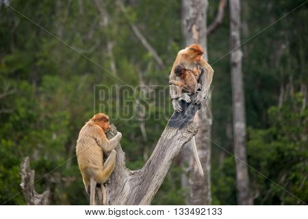 Proboscis monkeys (Nasalis larvatus) at the Labuk Bay Monkey Sanctuary outside of Sandakan Malaysia.
