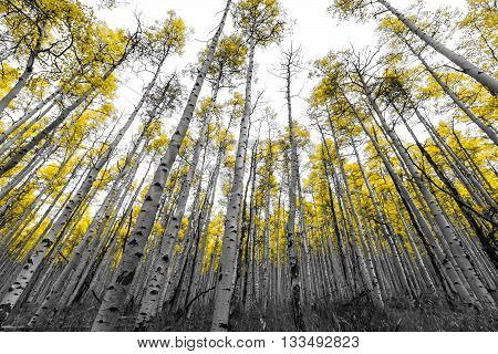 Tall forest of golden aspen trees in black and white landscape