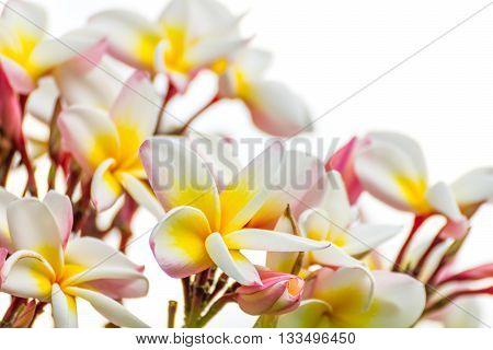 Close Up Lan Thom Flower On White