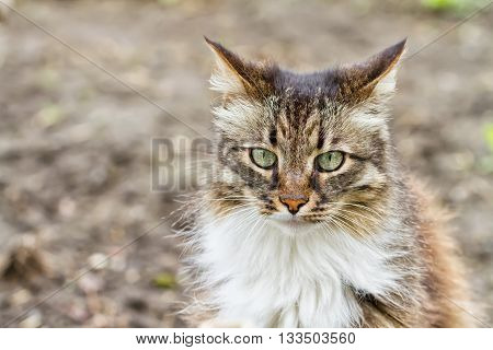 Portrait of longhaired domestic cats with tricolor