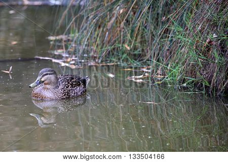 eye-stripe grey duck of New Zealand swimming in a pond