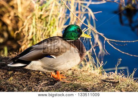 Duck in a yellow grass on the bank of the lake. Colorful male mallard drake.