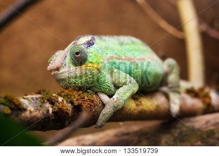 Close-up portrait of a panther chameleon (Furcifer pardalis).