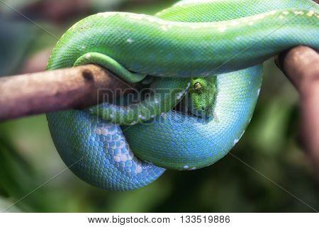 Close-up of a Green tree python (Morelia viridis).