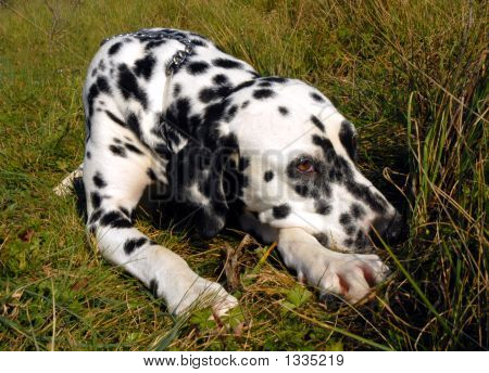 beautiful purebred dalmatian dog sleeping in grass poster