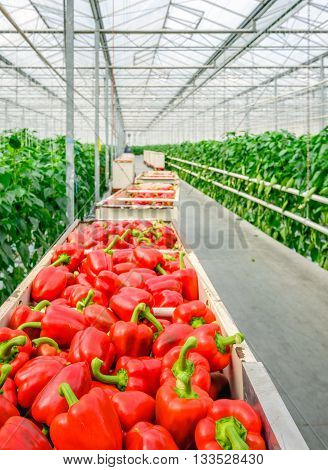 Full carts with just harvested red peppers in the corridor of a Dutch pepper nursery.