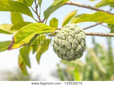 Custard apple plant. Custard apple raw agriculture on trees. ( select focus front Custard apple and soft-focus background)