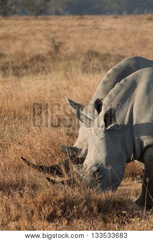 Portrait of two white rhinos in Nakuru Park Kenya during the dry season. Vertical shot.