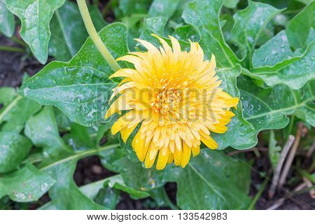 flower Gerbera of the Gerbera genus. Yellow with water drops in the garden Barberton daisy Gerbera jamesonii Daisy fromSouth Africa. (select focus Gerbera and Blur blurred background