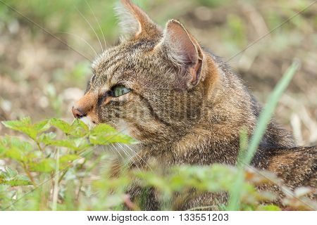 Portrait of green-eyed cat in nature. Serious cat, cat at home, proud cat, funny cat, grey cat, domestic animal, grey serious cat in blurry background, fat cat. poster