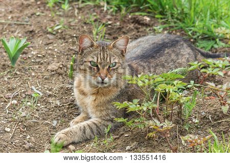 Portrait of green-eyed cat in nature. Serious cat, cat at home, proud cat, funny cat, grey cat, domestic animal, grey serious cat in blurry background, fat cat.