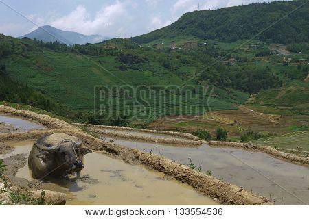 Buffalo wallowing in the mud over looking Sapa's rice terraces, Vietnam