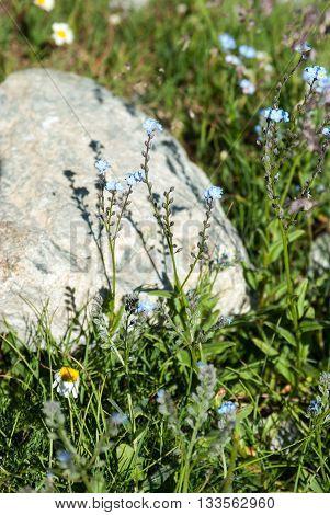 Forget-me-not flowers in mountains Arkhyz Karachay-Cherkessia Russia