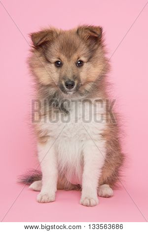 Shetland sheepdog cute sheltie puppy sitting on a pink background facing the camera
