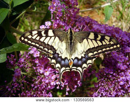 Swallowtail Butterfly ( Papilio machaon) feeding on a Butterfly-Bush (Buddleia)