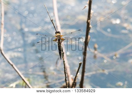 Dragon Fly, Really Big One
